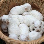 Cuccioli – Puppies_1
