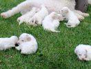 Cuccioli – Puppies_2