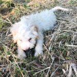 Lea truffle dog_1