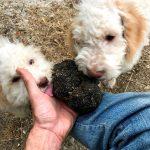 Lea truffle dog_3