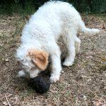 Lea truffle dog_4