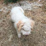 Lea truffle dog_5