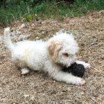 Lea truffle dog_6