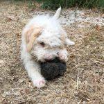 Lea truffle dog_7