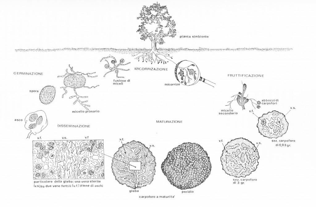 Ciclo biologico del Tartufo